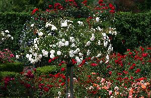 Фотографии Великобритания Сады Розы Много Rosemoor Gardens цветок