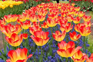 Фото Нидерланды Тюльпаны Крупным планом Гиацинты Keukenhof Цветы