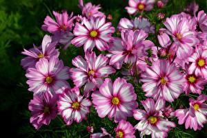Фотография Космея Крупным планом Цветы