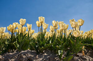 Фотография Тюльпан Белые цветок