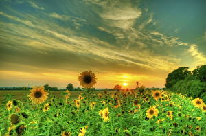 Обои Подсолнухи Поля Небо HDR Природа Цветы фото