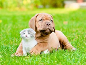 Обои Собака Кошки Бордоский дог Котята Трава животное
