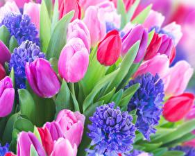 Картинка Тюльпаны Гиацинты Крупным планом Цветы