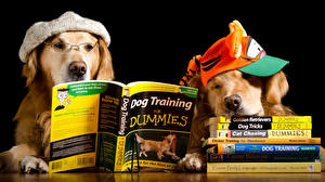 Обои Собака Две Ретривер Кепка Книги Очки Читает Смешные Юмор