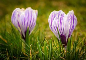 Обои для рабочего стола Крокусы Крупным планом 2 цветок