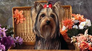 Фотографии Собаки Йоркширский терьер