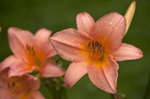 Фотографии Лилии Крупным планом Капли Цветы