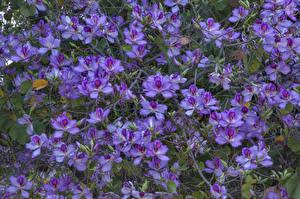Фото Орхидеи Много Фиолетовая цветок