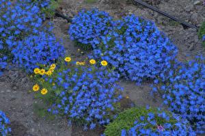 Фотография Много Синий Myosotis Цветы