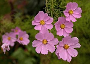 Картинка Космея Крупным планом Розовая Цветы