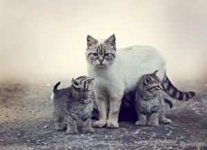 Картинка Кошки Котята Втроем Животные
