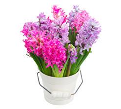 Фотографии Гиацинты Вблизи Белом фоне цветок