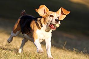 Картинки Собаки Бигль Бег
