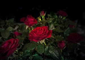 Обои Роза Красных Капли Листья Цветы