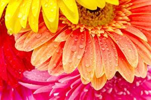 Обои Герберы Крупным планом Капли Цветы фото