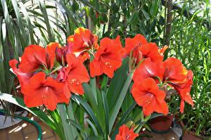 Обои Амариллис Вблизи Красная Цветы