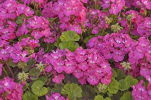 Обои Герань Много Розовые Цветы