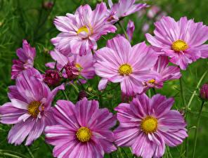 Обои Космея Вблизи Розовая цветок