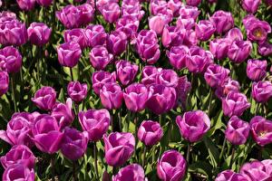 Фотографии Тюльпаны Крупным планом Фиолетовые Цветы