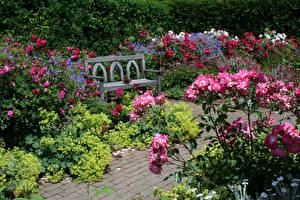 Картинки Англия Сады Роза Скамья Кусты Rosemoor Gardens Devon Природа