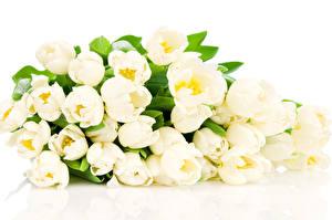 Обои Тюльпан Белые Белый фон Цветы