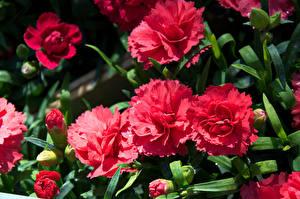 Картинки Гвоздики Вблизи Красных Бутон Цветы