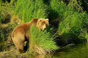 Обои Медведь Гризли Трава животное