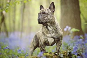 Обои Собаки Французский бульдог Бульдог Животные фото