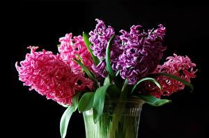 Фотографии Гиацинты Вблизи На черном фоне цветок