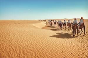 Обои Пустыни Верблюды Природа