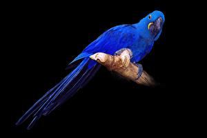Обои Птицы Попугаи Синий На черном фоне Hyacinth Macaw животное