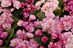 Обои Примула Много Розовый Цветы