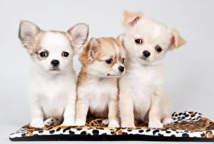 Фотографии Собаки Чихуахуа Три Щенков Животные