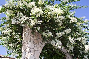 Картинки Цветущие деревья Белый Цветы