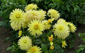 Фотографии Георгины Крупным планом Желтый Бутон цветок