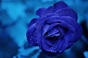 Фотография Розы Крупным планом Синий Капли Цветы