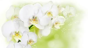 Картинки Орхидеи Вблизи Белых цветок