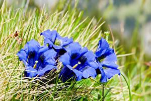 Обои Крупным планом Колокольчики Синий Цветы