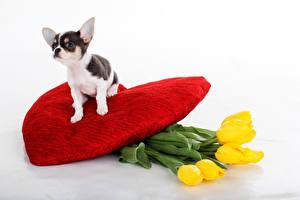 Картинки Собаки Тюльпаны Чихуахуа Сердце Желтый Животные