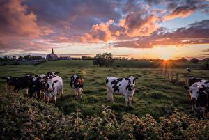 Фотографии Коровы Поля Рассветы и закаты Облако Солнца Животные Природа