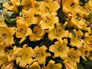 Фотография Лилии Крупным планом Много Желтый Цветы
