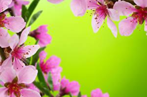 Фотографии Цветущие деревья Вблизи Цветной фон Розовый