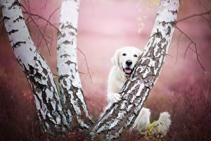 Обои Собаки Березы Ствол дерева Ретривер Животные