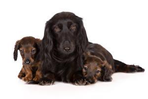 Фотография Собаки Белый фон Такса Щенка Трое 3 Животные