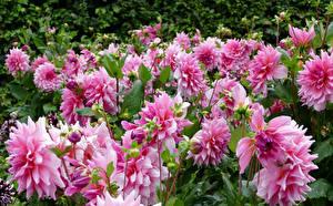 Картинки Георгины Крупным планом Розовый Бутон Цветы