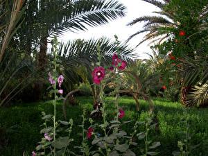 Фотография Марокко Парки Мальва Пальмы Трава Draa valley Природа