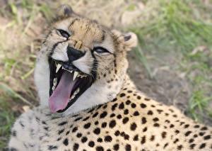 Фото Большие кошки Гепарды Морда Оскал