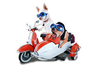 Фотография Собака Белым фоном Мотоциклист Двое Чихуахуа Очки животное Юмор