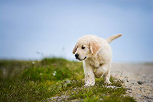 Картинки Собака Траве Ретривера животное