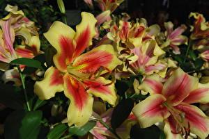 Фотографии Лилии Вблизи Цветы